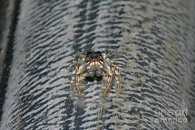 Macro Photograph - Jumping Spider - Phidippus Putnami by Judy Whitton