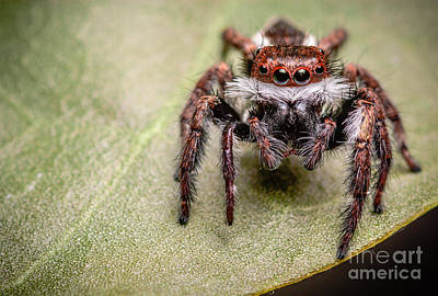 Art Print featuring the photograph Jumping Spider by Tosporn Preede