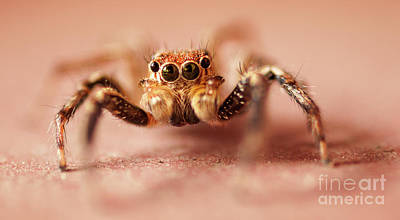 Photograph - Jumping Spider by Venura Herath