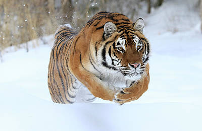 Photograph - Jumping Tiger by Steve McKinzie