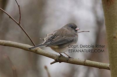 Photograph - Junco 2713 by Captain Debbie Ritter