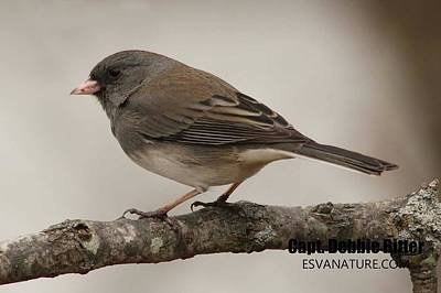 Photograph - Junco 4390 by Captain Debbie Ritter