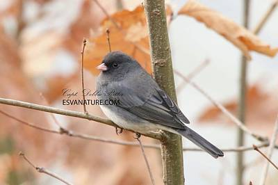 Photograph - Junco 5686 by Captain Debbie Ritter