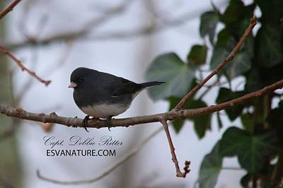 Photograph - Junco 9813 by Captain Debbie Ritter