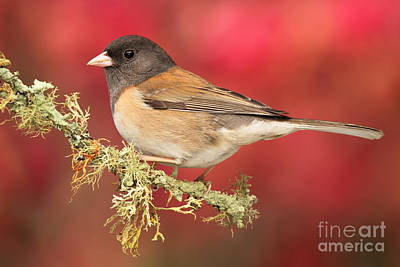Junco Against Peach Blossoms Art Print