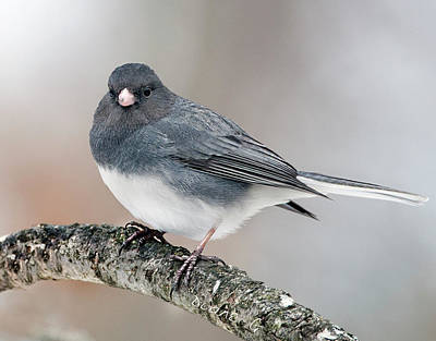 Photograph - Junco by Diane Giurco