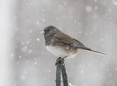 Photograph - Junco In A Blizzard by Diane Giurco