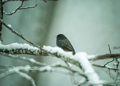 Photograph - Junco In Flying Snow by Douglas Barnett