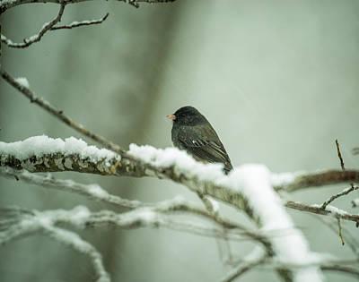 Photograph - Junco In New Fallen Snow by Douglas Barnett