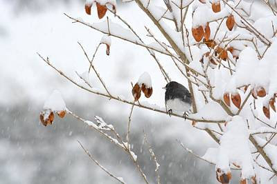 Photograph - Junco In Snow And Copper Leaves by Tana Reiff