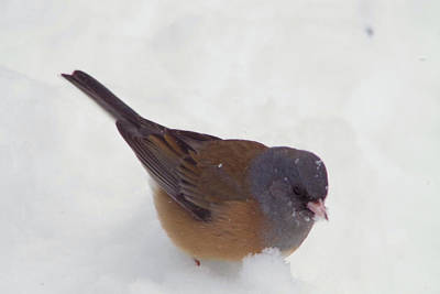 Junco In The Snow Art Print by Jeff Swan