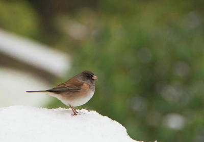 Photograph - Junco In The Snow by Marilyn Wilson
