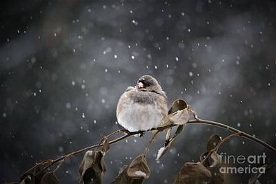 Photograph - Junco In The Snow by Mary-Lee Sanders