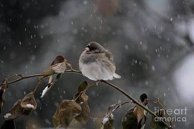 Photograph - Junco by Mary-Lee Sanders
