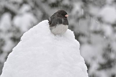 Photograph - Junco On Snow Pile by Tana Reiff