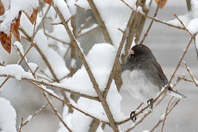 Photograph - Junco On Snowy Branches by Tana Reiff