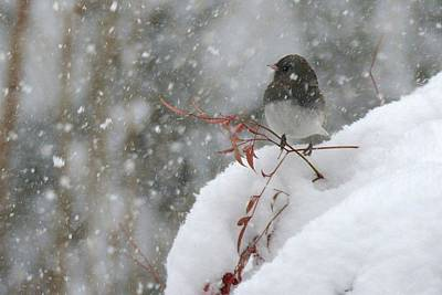 Photograph - Junco Red Leaves And Snow by Tana Reiff