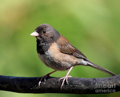 Photograph - Junco by Wingsdomain Art and Photography