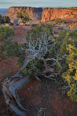 Photograph - Junction Butte And Junipers Of Canyonlands Np by Ray Mathis