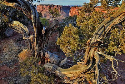 Photograph - Junction Butte Through Juniper Tree At Grand View Point - Canyonlands Np by Ray Mathis