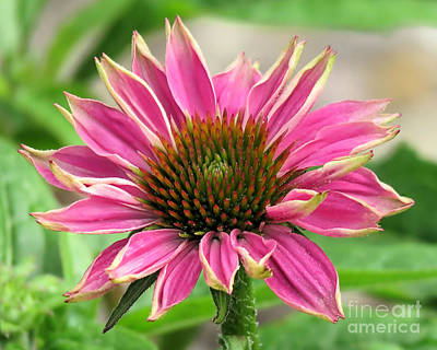 Photograph - June Coneflower by Janice Drew