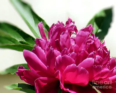 Photograph - June Peony by Janice Drew
