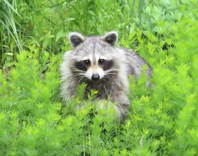 Photograph - June Raccoon by MTBobbins Photography