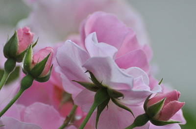 Photograph - June Roses 1 by Gerald Hiam