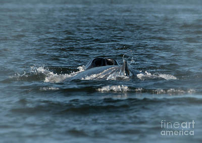Photograph - Juneau A Local Humpback Whale by Loriannah Hespe