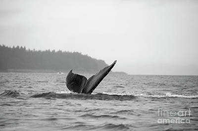 Photograph - Juneau Humpback Whale Dive 1 by Louise Magno