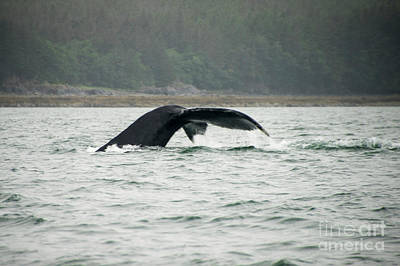Photograph - Juneau Humpback Whale Dive by Louise Magno