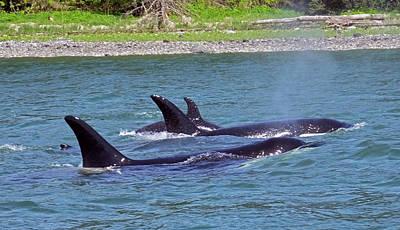 Photograph - Juneau Orcas by Judy Wanamaker
