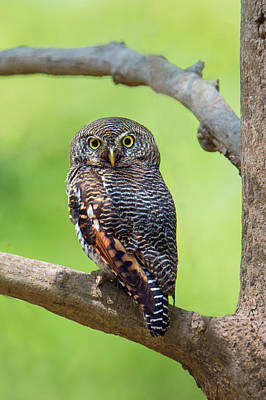 Owlets Photograph - Jungle Owlet Glaucidium Radiatum by Panoramic Images