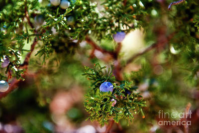 Photograph - Juniper Berries by David Arment