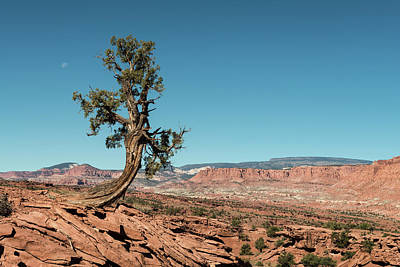 Capitol Reef Photograph - Juniper In Capitol Reef by Joseph Smith