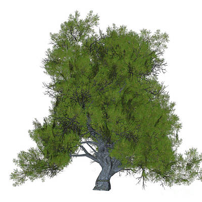 Coniferous Painting - Juniper Tree by Corey Ford