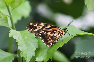 Delicate Photograph - Juno Butterfly by Judy Whitton