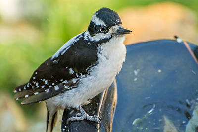 Hairy Woodpecker Photograph - Just A Drop For Hairy by Constance Puttkemery