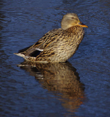 Photograph - Just A Duck by Buddy Scott