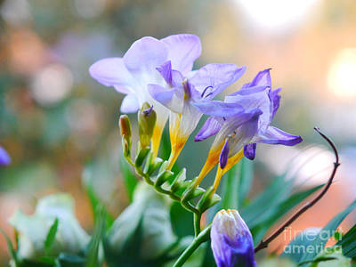 Photograph - Just A Freesia by Lance Sheridan-Peel