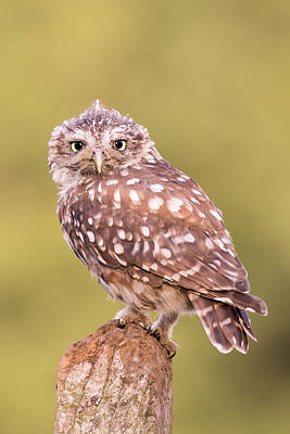 Photograph - Just A Little Owl by Phil Stone