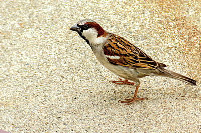 Photograph - Just A Sparrow by Alex Galkin