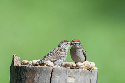 Photograph - Just Because Out Of Nest Doesn't Mean Feeding Time Stops by Dan Friend