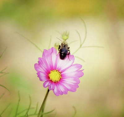 Photograph - Just Bee Cosmos by MTBobbins Photography