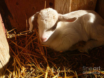 Saanen Goat Photograph - Just Born by Stephanie  Skeem