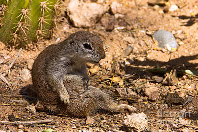 Round-tailed Ground Squirrel Photograph - Just Chillin by Kelly Holm