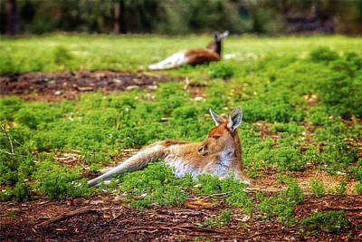 Print featuring the photograph Just Chillin, Yanchep National Park by Dave Catley
