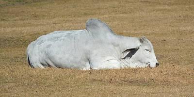 Photograph - Just Dozing In The Sun - Brahman by rd Erickson