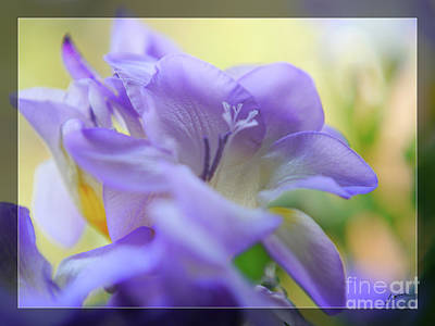 Photograph - Just Freesia's by Lance Sheridan-Peel