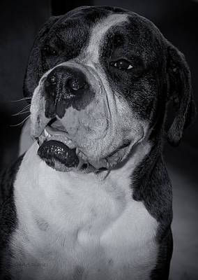Brindle Photograph - Just Handsome II by DigiArt Diaries by Vicky B Fuller